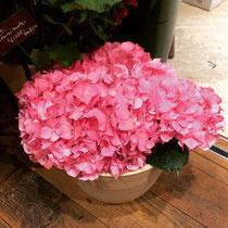 大輪の紫陽花!そしてピンク色で可愛らしい♡