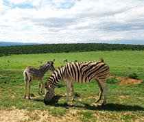 Zebras im Addo Elephant Park