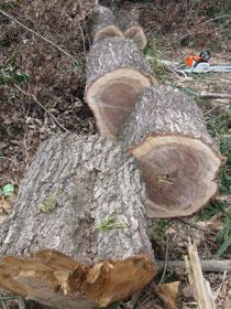 ナラ材の原木