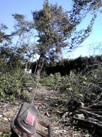 ナラの大木を目的の方向に倒す