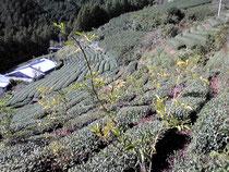 茶畑を廃し柚子畑に