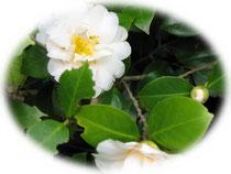 八重咲きの白い椿