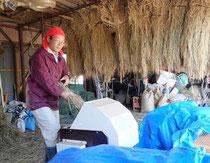 有機農業の米作り