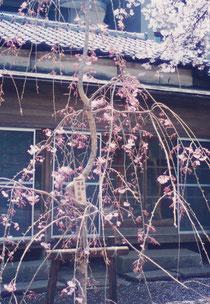 コノハナサクヤヒメさまにちなんで桜を奉納