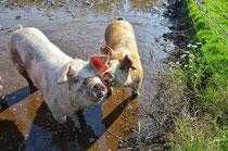 Bio Schweine Biohof Bio Naturschutz gesund Fleisch