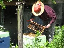Imker Bienen Durchsicht der Waben