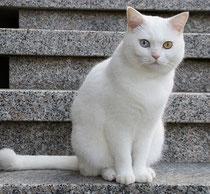 Katze weiß, odd eyed, Foto: fotolia.com