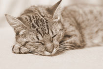 愛猫さくらが寝ている写真