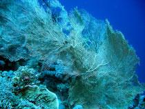 gorgone (Safaga mer Rouge)