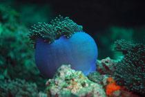 hexacoralliaires les anémones (6 x n tentacules lisses)