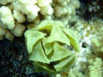 """algues à triangles """"turbinaria triquetra"""" (Habili Ali st John's Egypte)"""