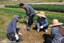 収穫体験:菊芋掘り