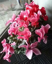 咲き続けるシクラメン