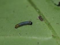 アサギマダラの1齢幼虫
