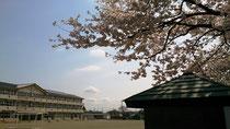 今年も咲いた間々田小の桜