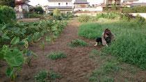 里芋も順調に育っています