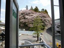 二荒山の桜です。