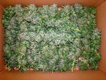 Hanf (Cannabis) Blüten zum trocknen im Karton (Schachtel)