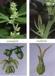 weibliche Hanf (Cannabis) Blüten, männliche  Hanf (Cannabis) Blüten