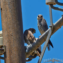 Amurfalke, Amur Falcon,  Falco amurensis