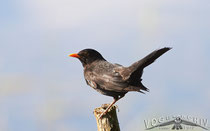 Amsel, Blackbird, Turdus merula