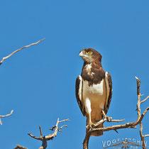 Braunbrust Schlangenadler, Black-chester Snake-Eagle, Circaetus pectoralis