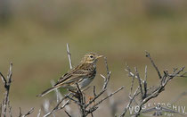 Baumpieper, Tree Pipit, Anthus trivalis