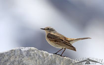 Bergpieper, Water Pipit, Anthus spinoletta