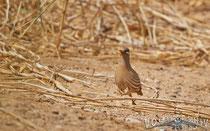 Arabisches Wuestenhuhn, Sand Partridg, Ammoperdix hey