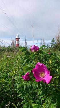 画像:はまなすっと石狩灯台
