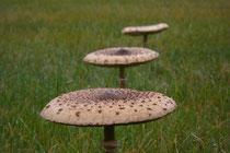 Willkommen in der Prignitz da gibt es viele Pilze