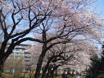 美住町の桜