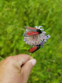2 Blutströpfchen auf einer Wiesen-Witwenblume
