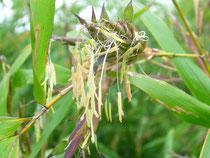 fleur de phyllostachys