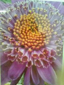 珍しい菊の花