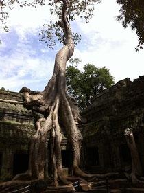 息子と行ったカンボジアのガジュマロ