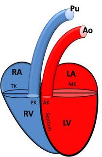 RA: rechtes Atrium; RV: rechter Ventrikel; PK: Pulmonalklappe; Pu: Pulmonalarterie; LA: linkes Atrium; LV: linker Ventrikel; MK: Mitralklappe; Ao: Aorta