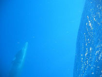 This is the grey whale deep below my boat - school bus size.