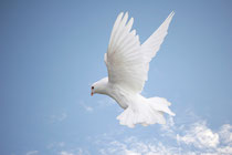 Dove flying high in the sky