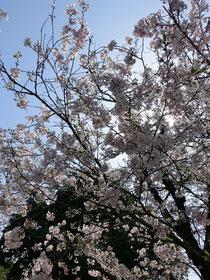 祐徳稲荷神社の桜♪