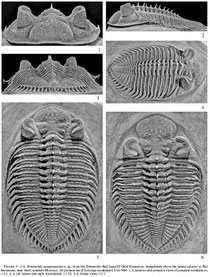 Fuente: Latest Early to Early Middle Devonian Trilobites from the Erbenochile Bed, Jbel Issoumour, Southeastern Morocco Journal of Paleontology, Volume 84, Issue 6, Page 1188-1205, November 2010.