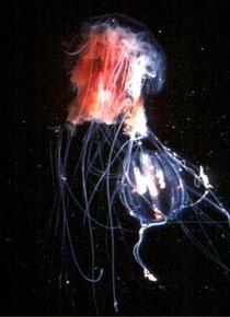 la crinière du lion est en faite une méduse portant ce nom
