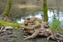 Erdkröten (Foto: Held)