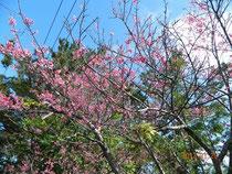 座喜味城址公園の桜