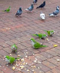 des perroquets et des pigeons à Barcelone