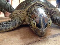 Meeresschildkröte (caretta caretta)