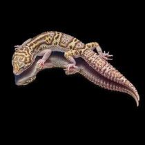 Leopardgecko 'Maxine' Mack Snow Eclipse