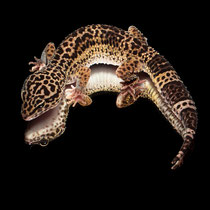 Leopardgecko 'Tigra' Light Black Night