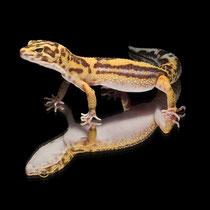 Leopardgecko 'Joey' Tangerine Tremper Albino