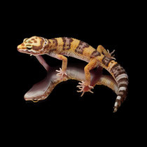 Leopardgecko 'Ivy' Super Giant High Contrast Tangerine Tremper Albino